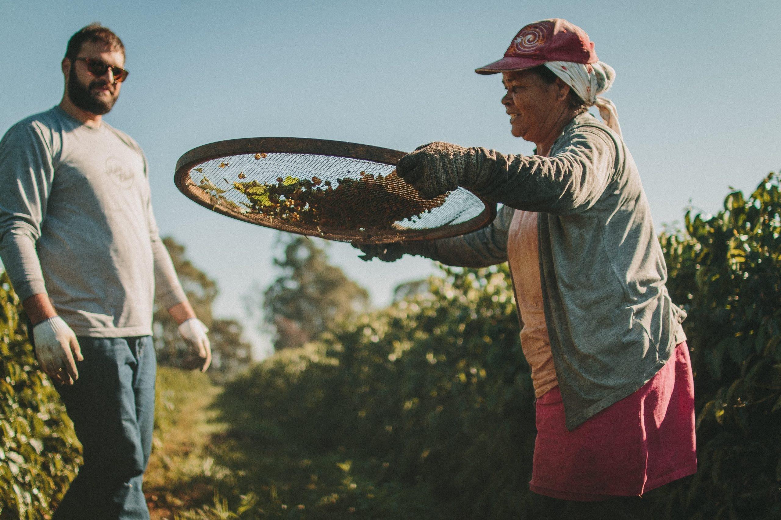 Mulher peneirando os grãos de café na lavoura.