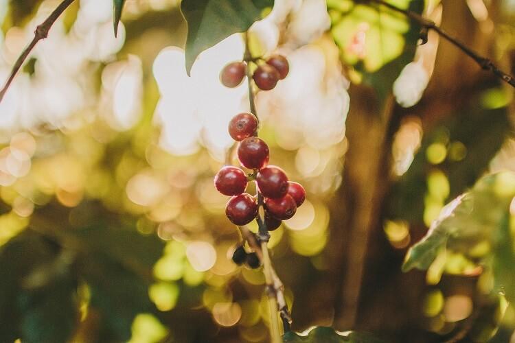 fruto de café na cor vermelha.