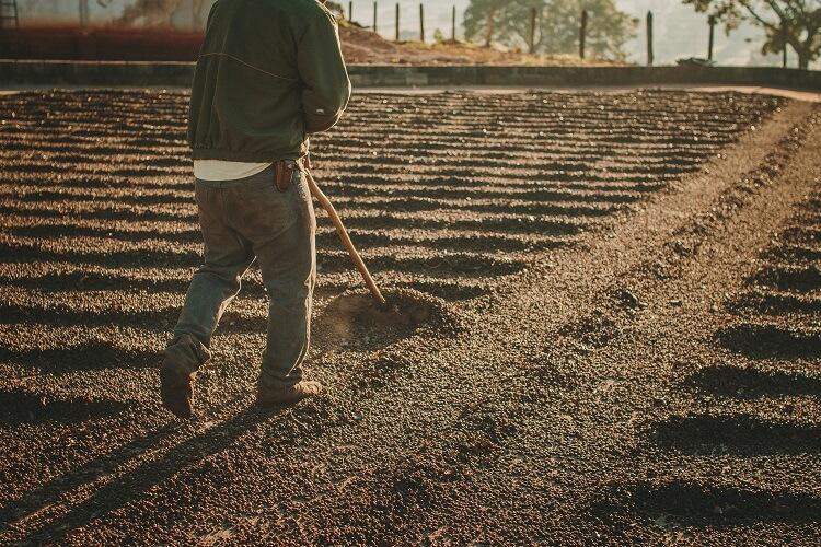 Homem arando chão coberto de café