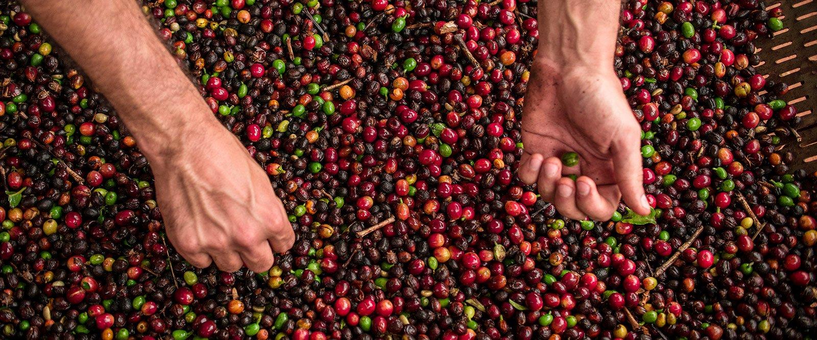 Conheça 7 tipos de grãos de café para experimentar