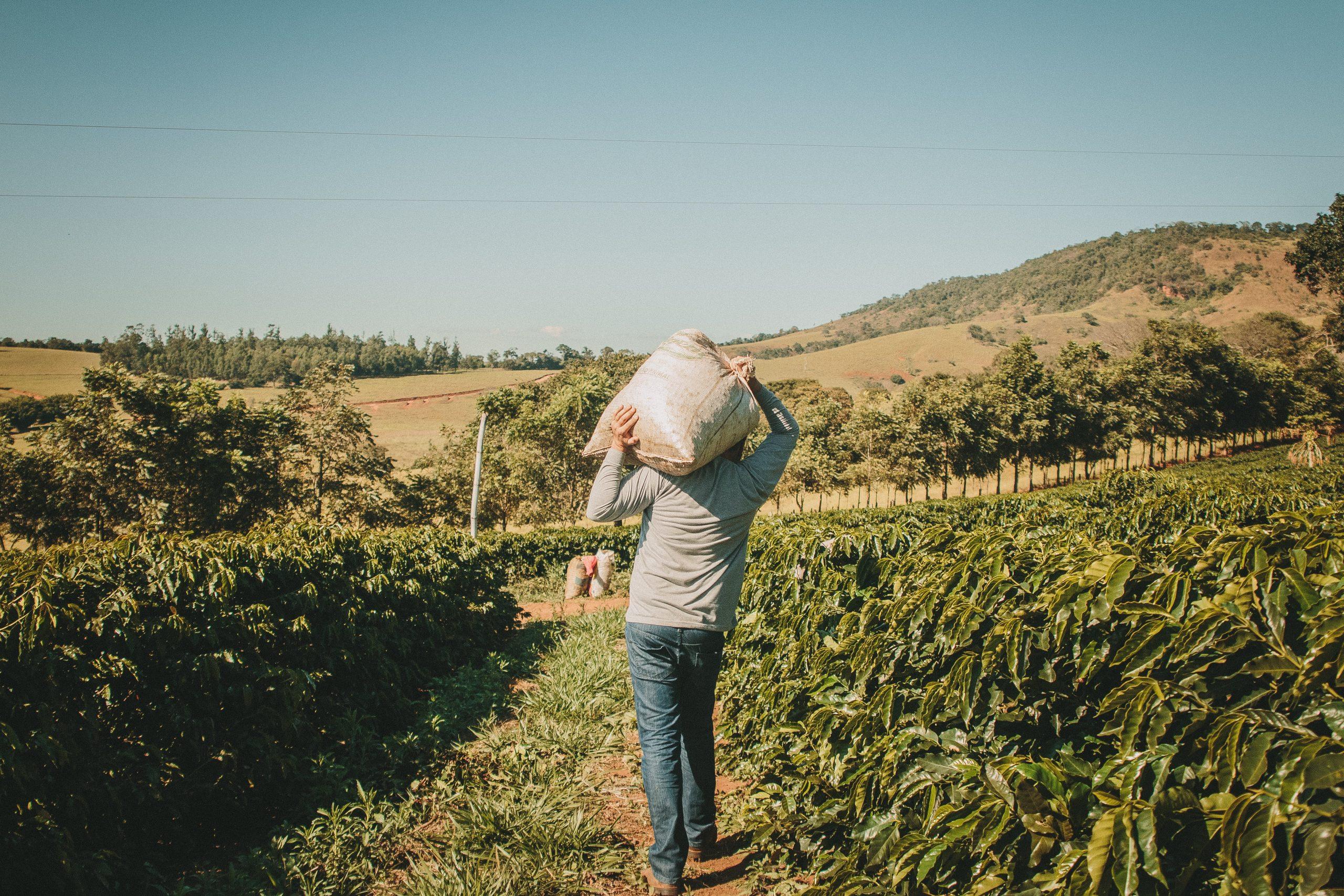 Homem carregando saca de café no ombro no meio da plantação.