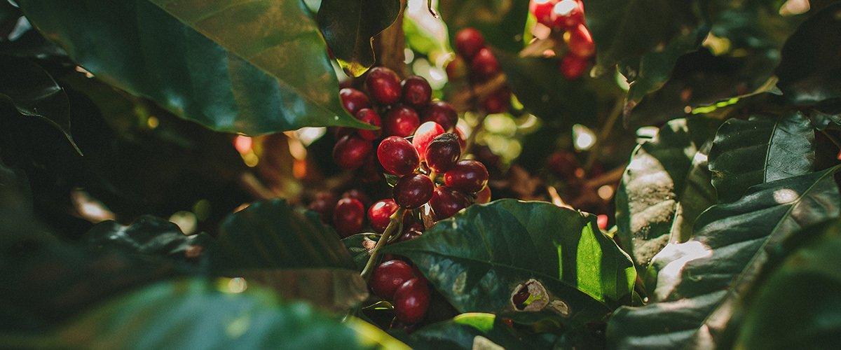 Entenda o que é café Bourbon e suas principais características