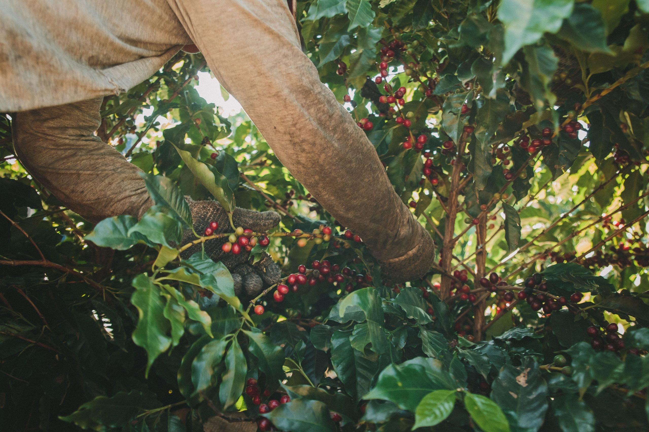 Pessoa colhendo o grão do terroir de café proveniente de Minas Gerais.