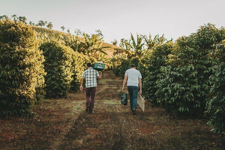 Dois homens carregando sacos de café nas costas em uma plantação do grão.