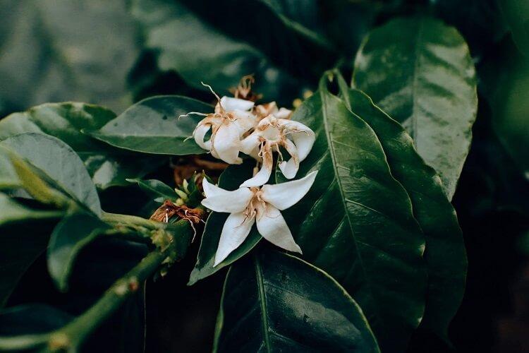 Flor de cinco pétalas brancas pequenas.