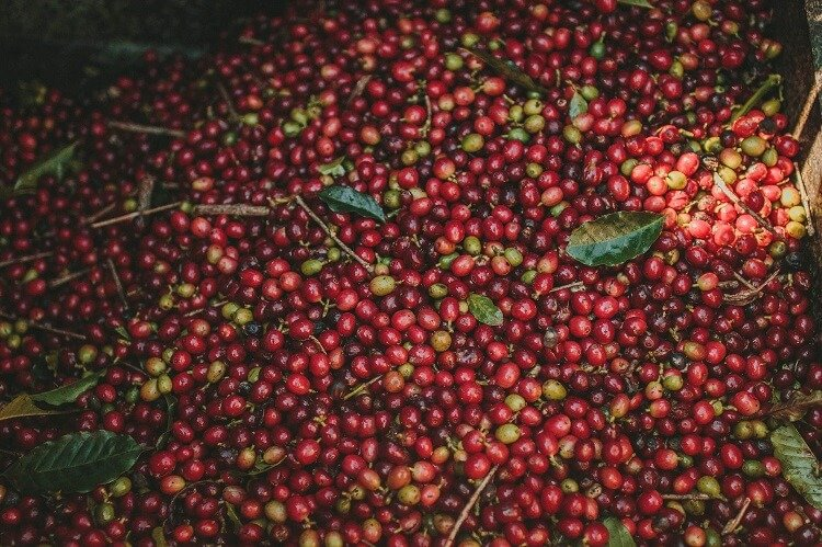 Grãos de café no chão junto com folhas e galhos. Cores predominantes são o vermelho, com alguns tons de verde e amarelo.